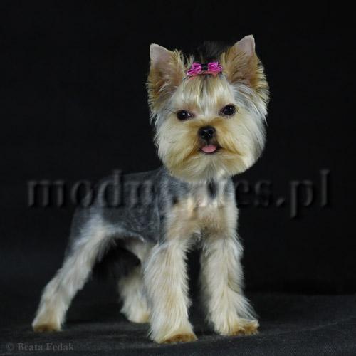 Modny Pies Strzyżenie Psów Fryzury